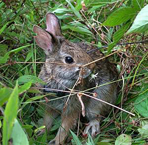 New England cottontail.    — Photo by M. Poole, U.S. Fish and Wildlife Service.