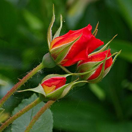 Roses_Boutons_FR_2012.jpg