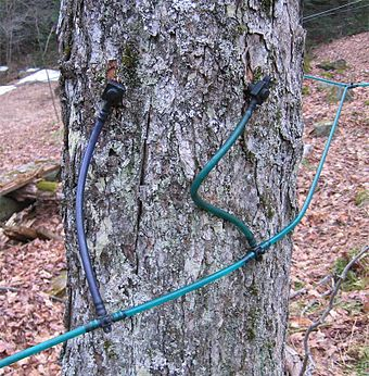 Two taps in a maple tree, using plastic tubing for collecting sap to be boiled to make maple syrup.