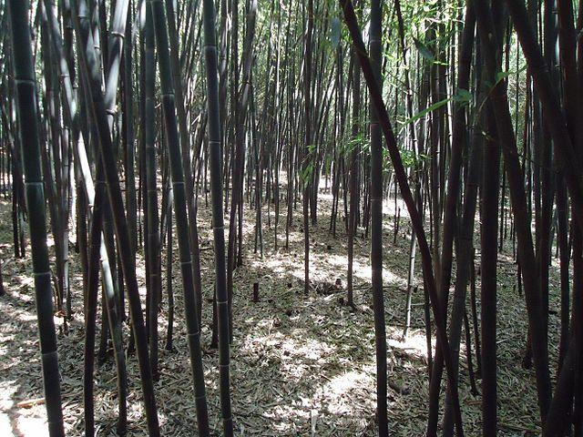 640px-Bamboo_forest_at_Rutgers_University_botanical_gardens.JPG