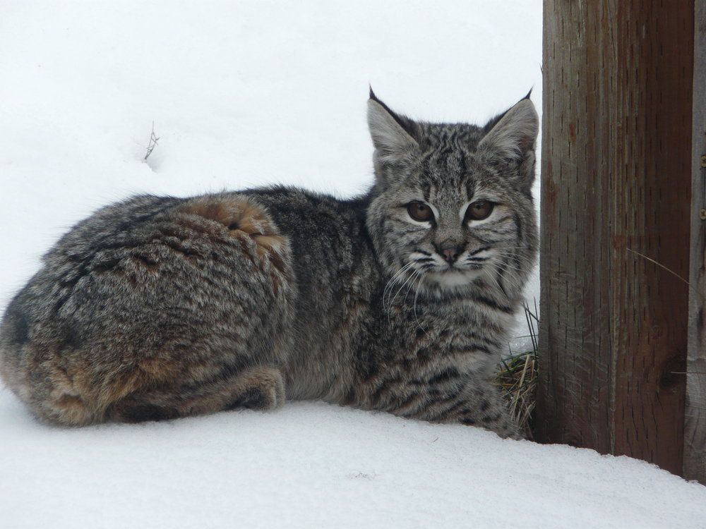 "Bold Beautiful Bobcat - I just know it's a ""SHE!!"""