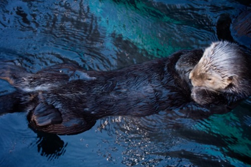 A sea otter does the backstroke - film still for The Fantastic Fur of Sea Otters