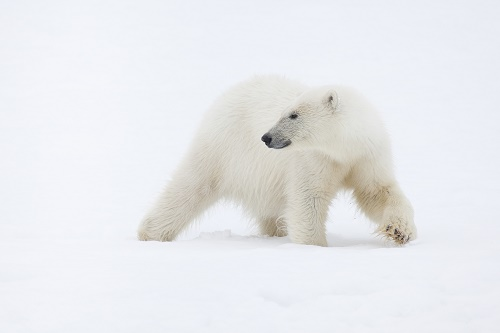 A polar bear pauses in the snow - film still for Speechless
