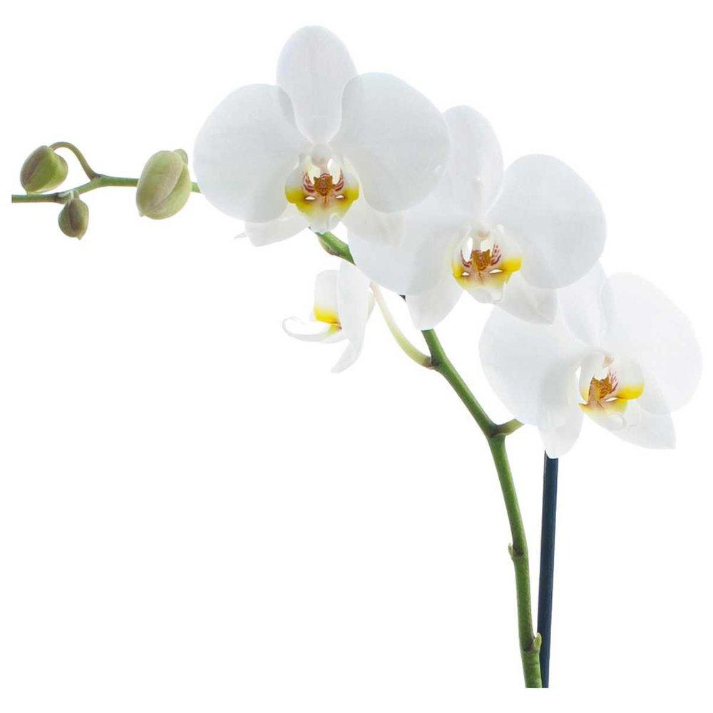 Phalaenopsis-Orchid-Plant.jpg