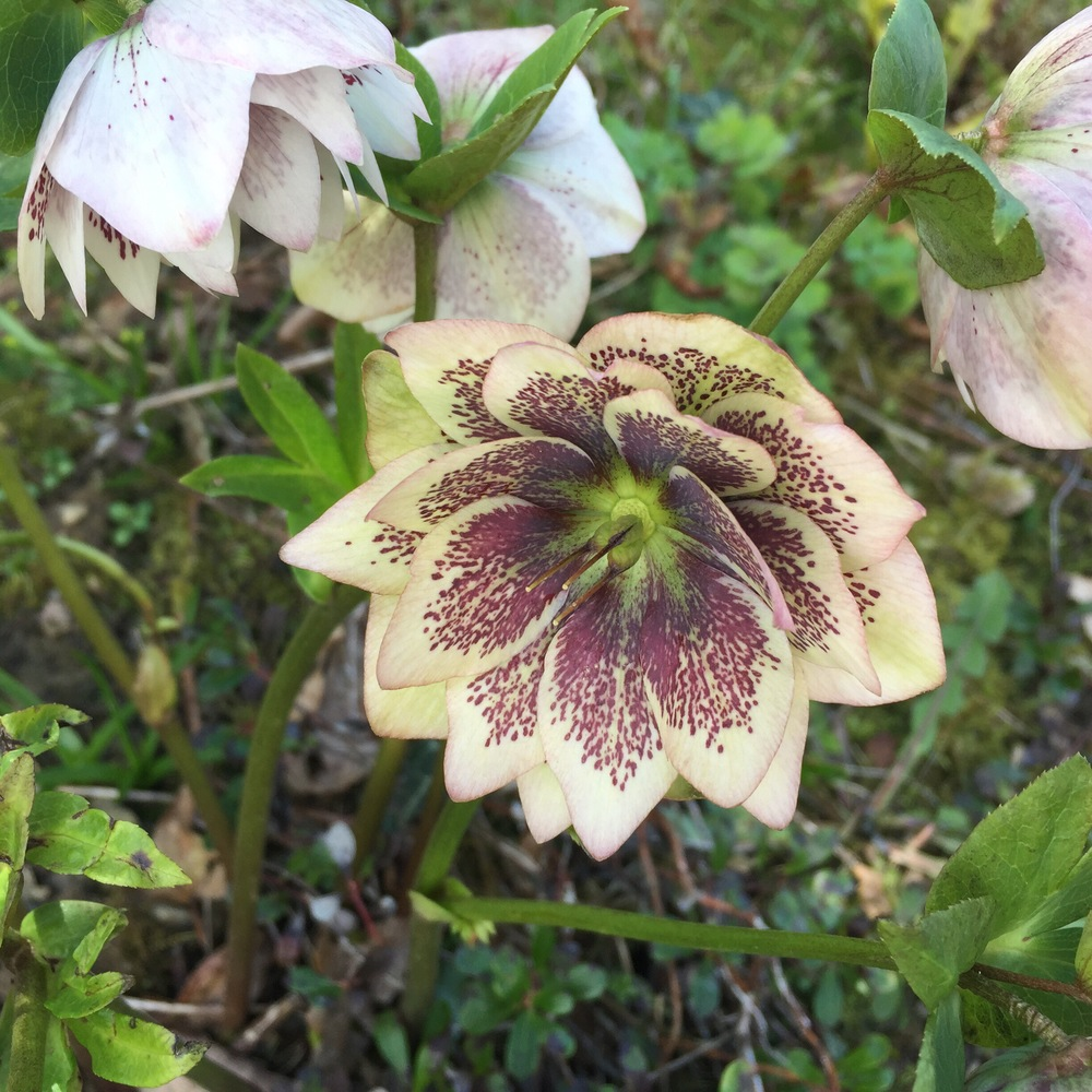 Hellebore at aberglasney