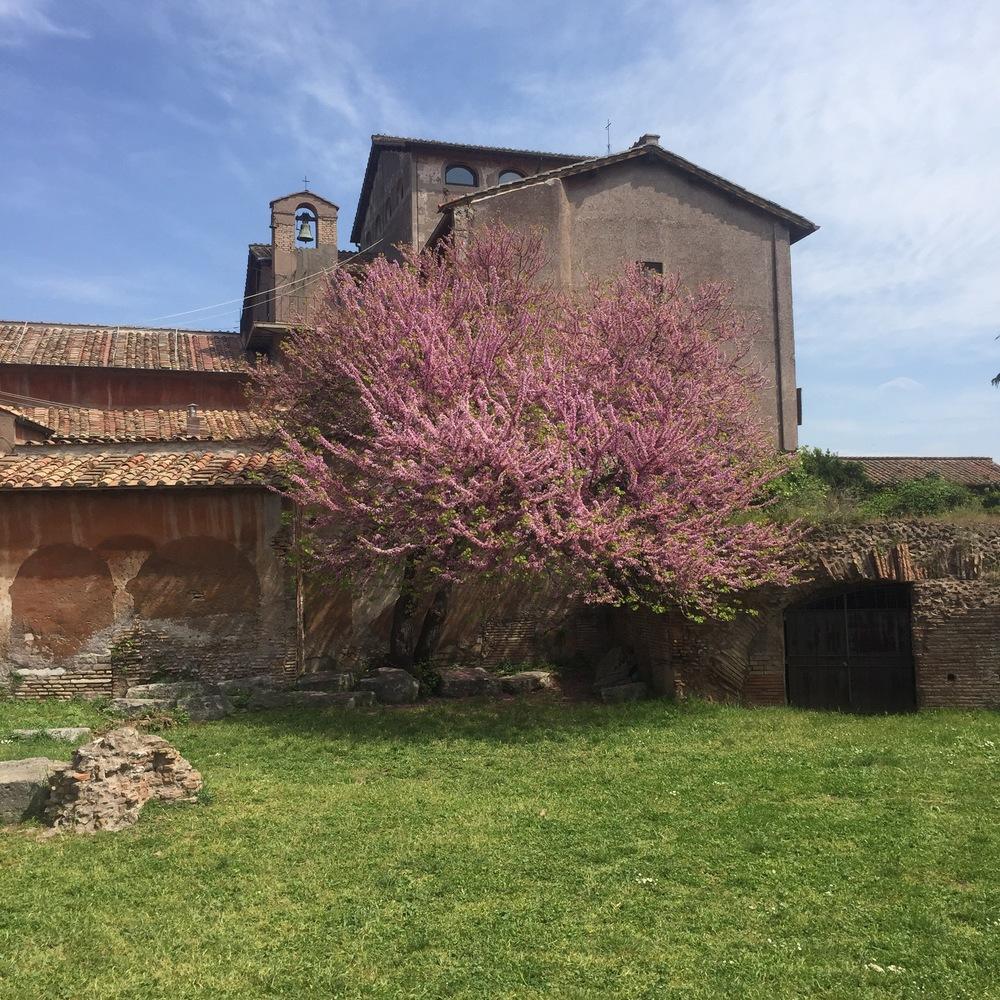 Cherry Blossom at Palatino Hill