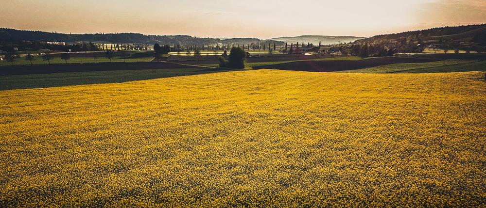 Luftaufnahme-Rapsfeld-Swissapse.jpg