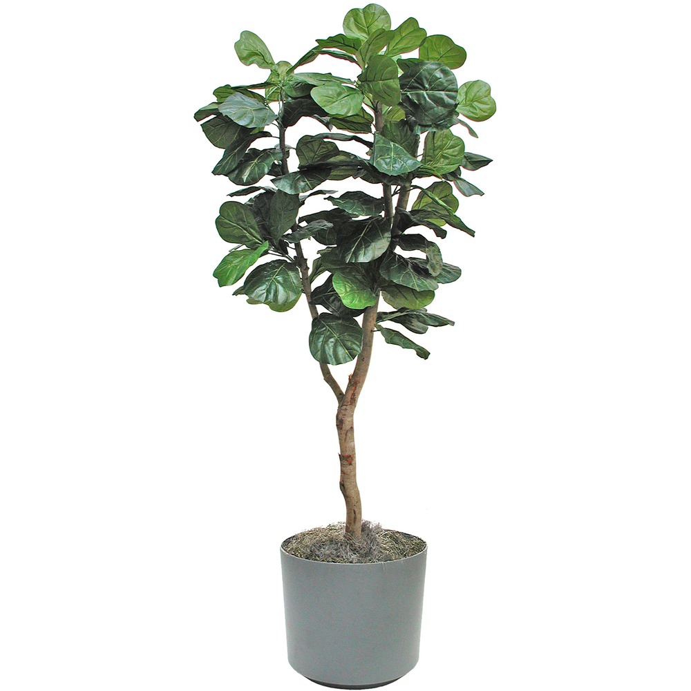 FiddleleafFig.jpg