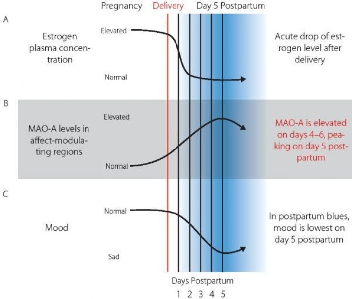 monoamine model of postpartum blues. a: after delivery, estrogen levels drop 100- to 1000fold; the estrogen decline is greatest during the first 3 to 4 days postpartum, with a modest decline thereafter. b: monoamine oxidase a (mao-a) levels are significantly greater in the early postpartum period, with a peak on day 5 postpartum. c: in the early postpartum period, up to 70% of mothers experience sadness, mood lability, anxiety, insomnia, poor appetite, and irritability, with mood being lowest on day 5 postpartum.  credit: max planck institute for human cognitive and brain sciences