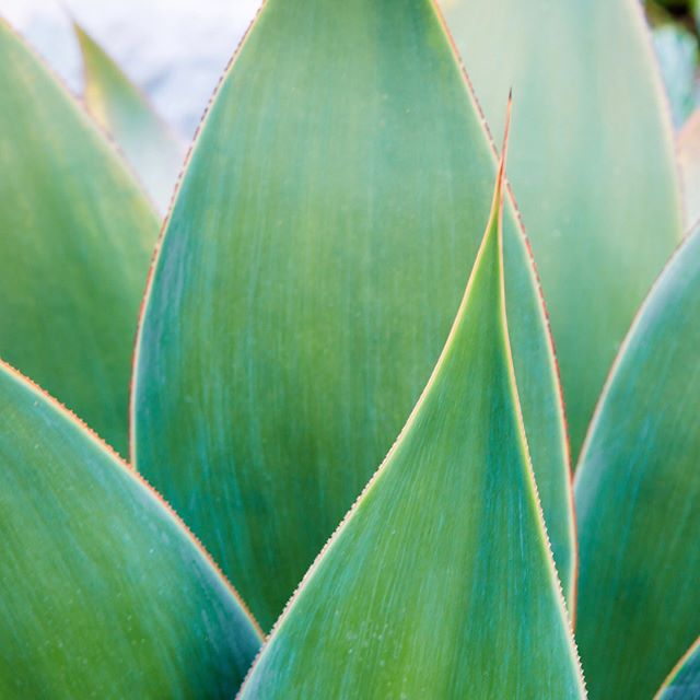 Agave attenuata - Foxtail agave. Great species to anchor a scene, cultivate next to a large boulder, or have it as your primary focal point! . . . . . #Landscape #gardens #california #ca #claremont #claremont #glendora #pasadena #handcrafted #luxe #design #designer #landscape #rendering #illustration #architecture #californianative #waterwise #landscape_lovers #landscape #succulents #watercolor #water #construction #monrovia #la
