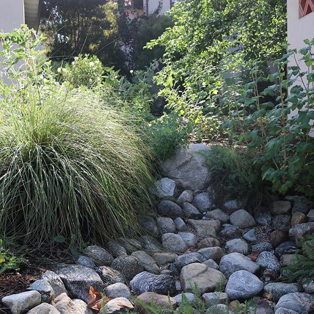 Water catchment. Deer grass used to balance the planting equation.