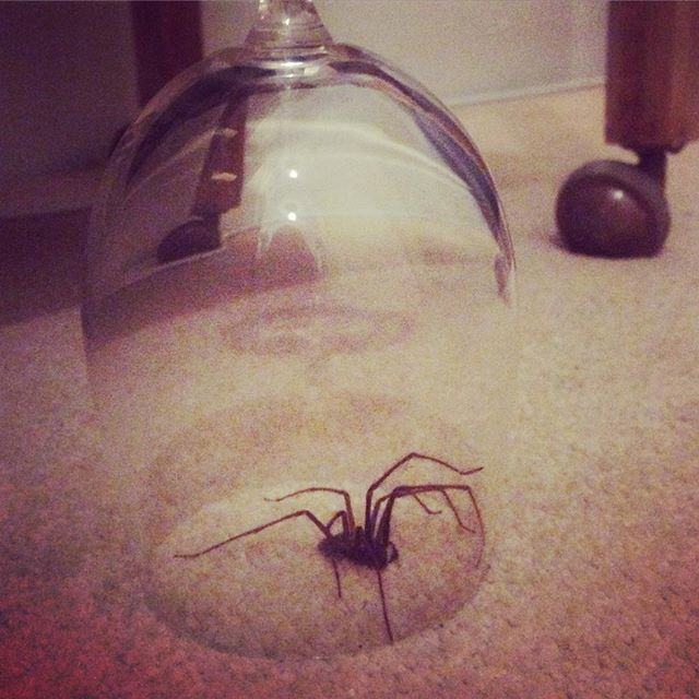 Bit big for me! This one will have to wait for Matt to get home. It's like living in arachnophobia #britishnature #spiderseason #nature #spidersofinstagram #spidersinside #mattwillsavetheday