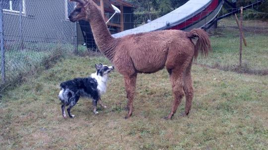 Kenai and the Llama