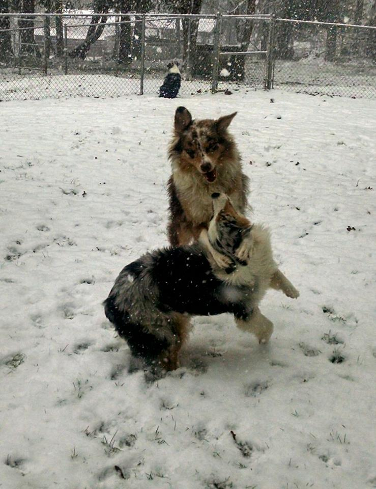 Boy aussies playing in the snow