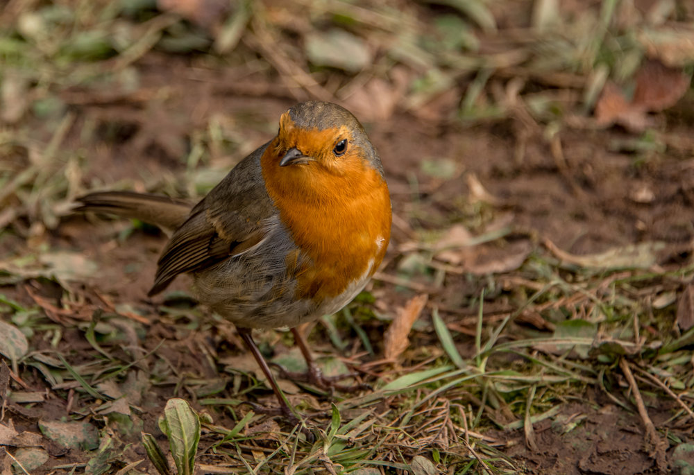 Go Wild Forest School Level 3 Training robin close up woodland.jpg