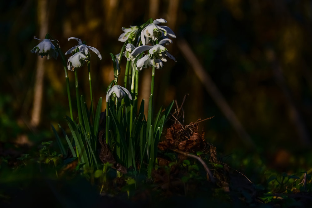 Go Wild Forest School Level 3 Training snowdrops.jpg