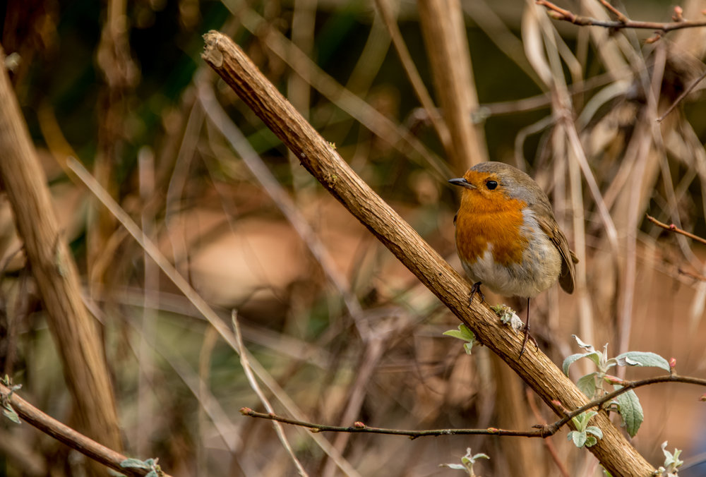 Go Wild Forest School Level 3 Training woodland robin.jpg