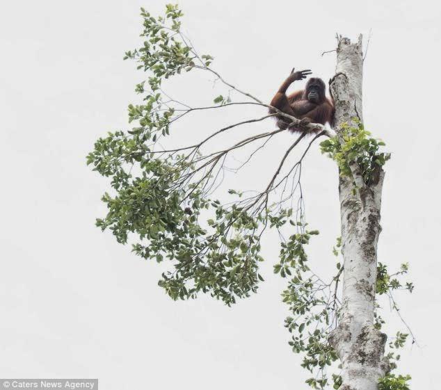 An orangutan with nowhere to go