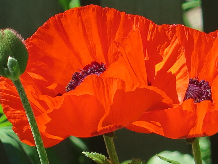 Poppies An Enduring Symbol Of Remembrance The She Shed