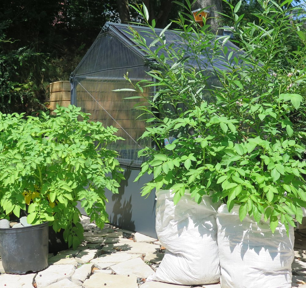 these Fingerling potatoes plants were grown in recycled seed bags in a part-sun/shade area of the yard; they were moved around as needed to maximize sunlight exposure.