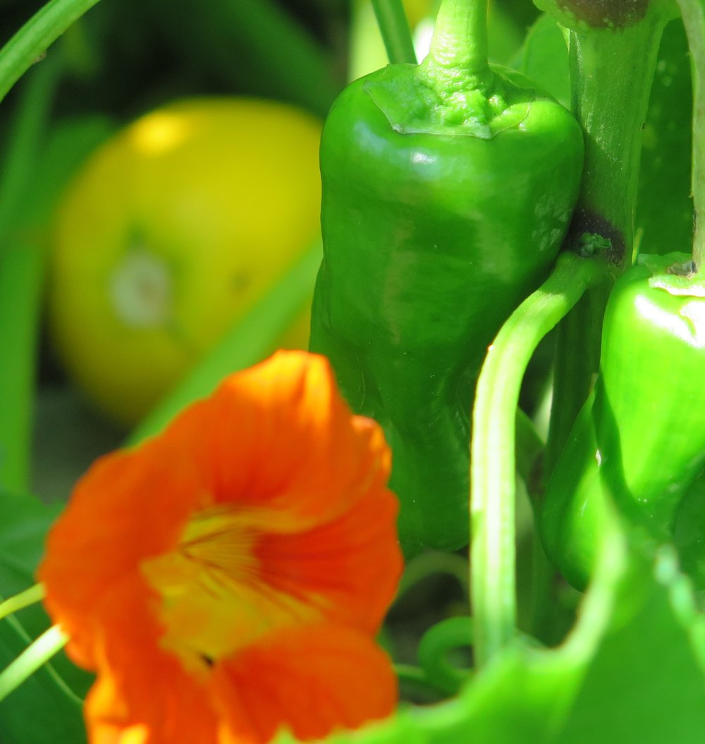 Pretty, edible nasturtiums grow among tennis ball squash and bite sized peppers in a raised bed.