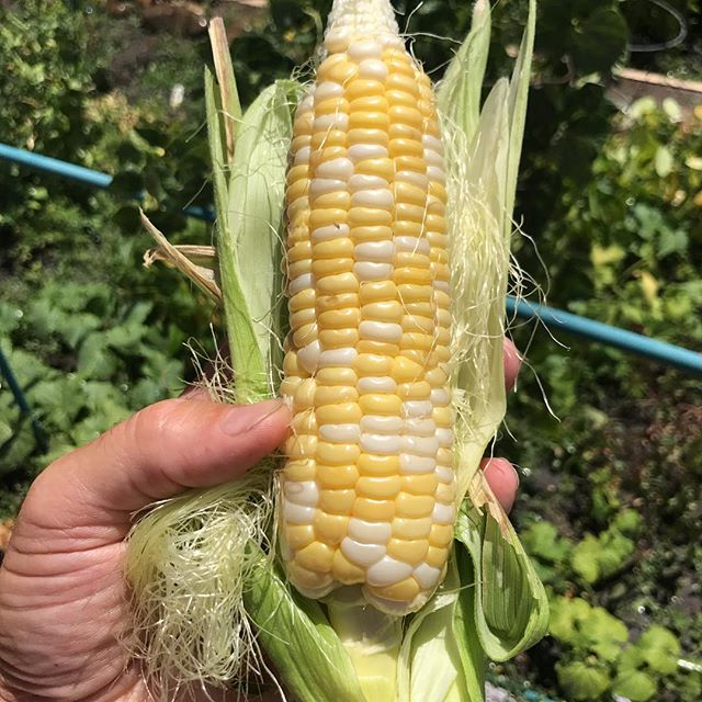 First harvest of the corn 😀😀😀. So grateful for Mother Earths Bounty. #veggies #veggiegarden #healthychoices #healthyliving #holisticnutrition #holistichealing #spiritmedicine #spiritualgrowth #spiritual #mothernature