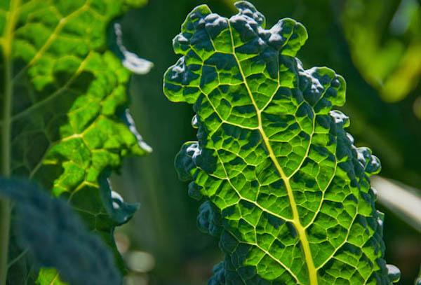 Kale in Sunlight.jpg