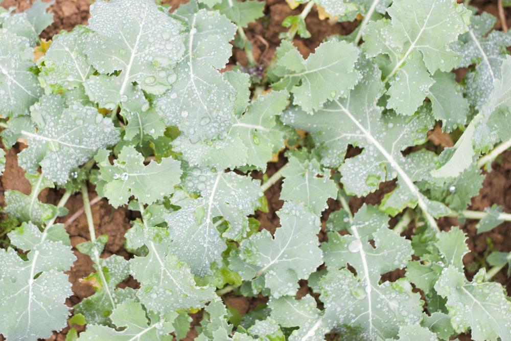 rapeseed_plant_bath_harvest