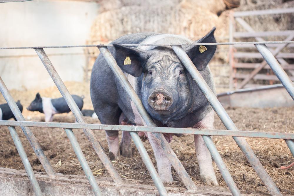 model_farm_pigs