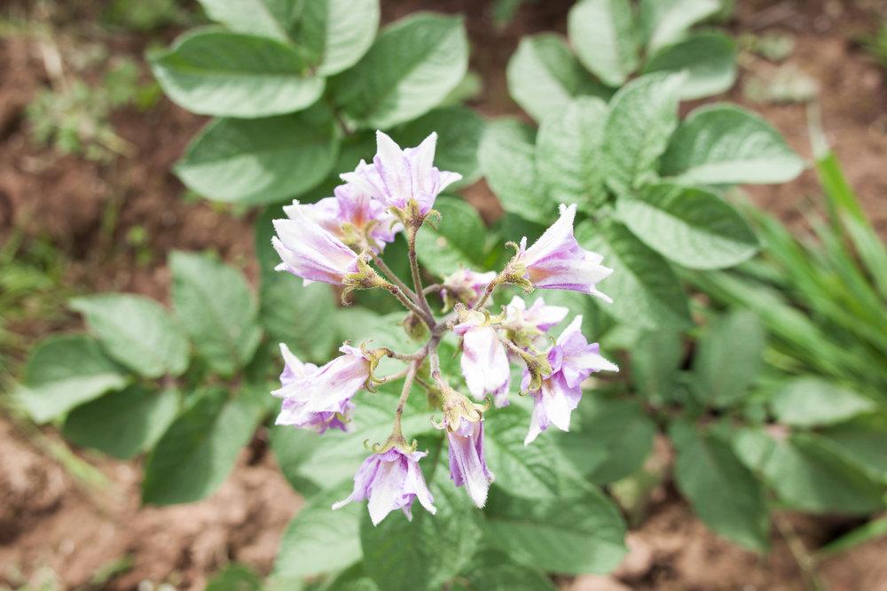 potato_flower
