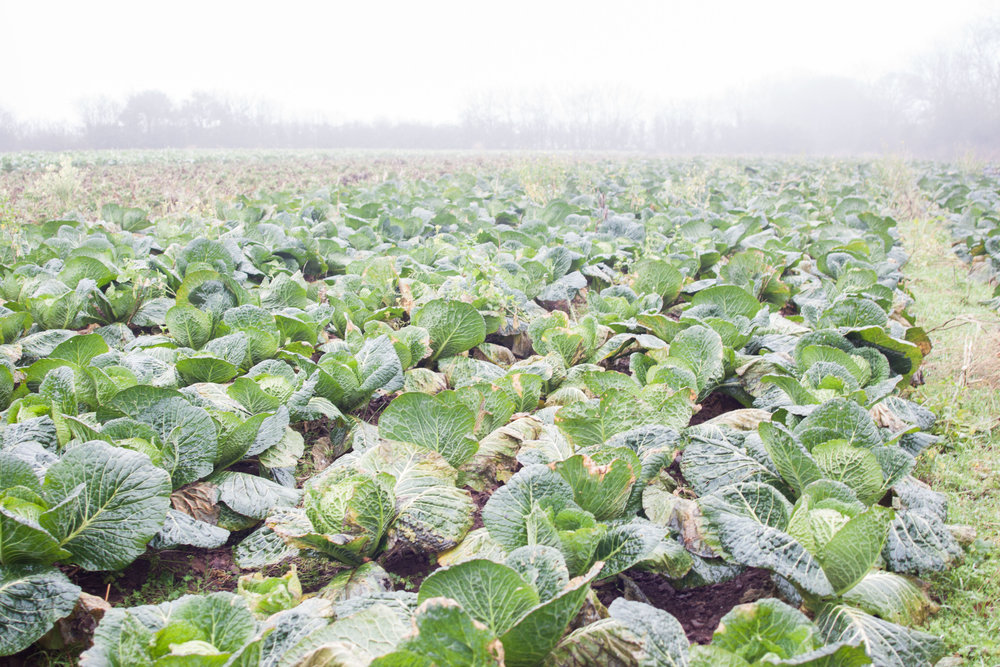 plowright_organic_field_cabbage