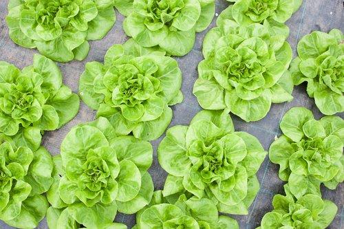 plowright_organic_lettuce