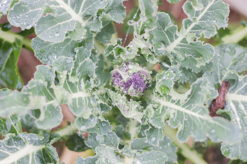 plowright_organic_broccoli