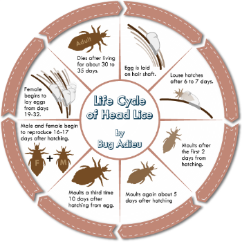What Is Head Lice