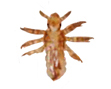 Nymph form. (cdc photo)