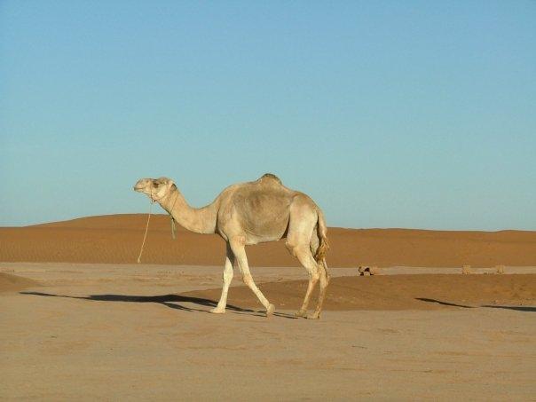 cameldesert.jpg