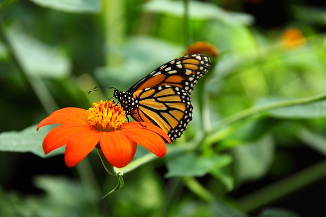 Butterfly on orange flower.jpg