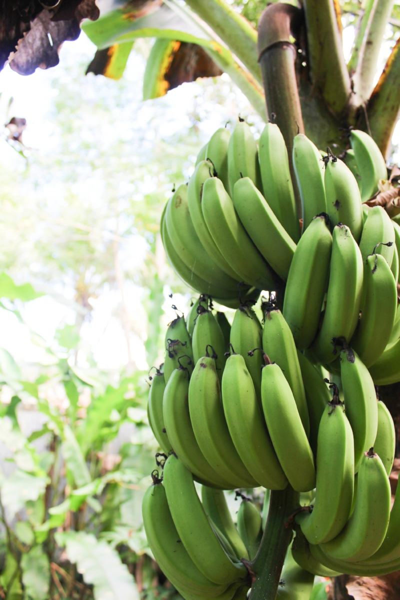 Bananas that Charlie was growing behind the juice bar, used in his smoothie and acai bowls!