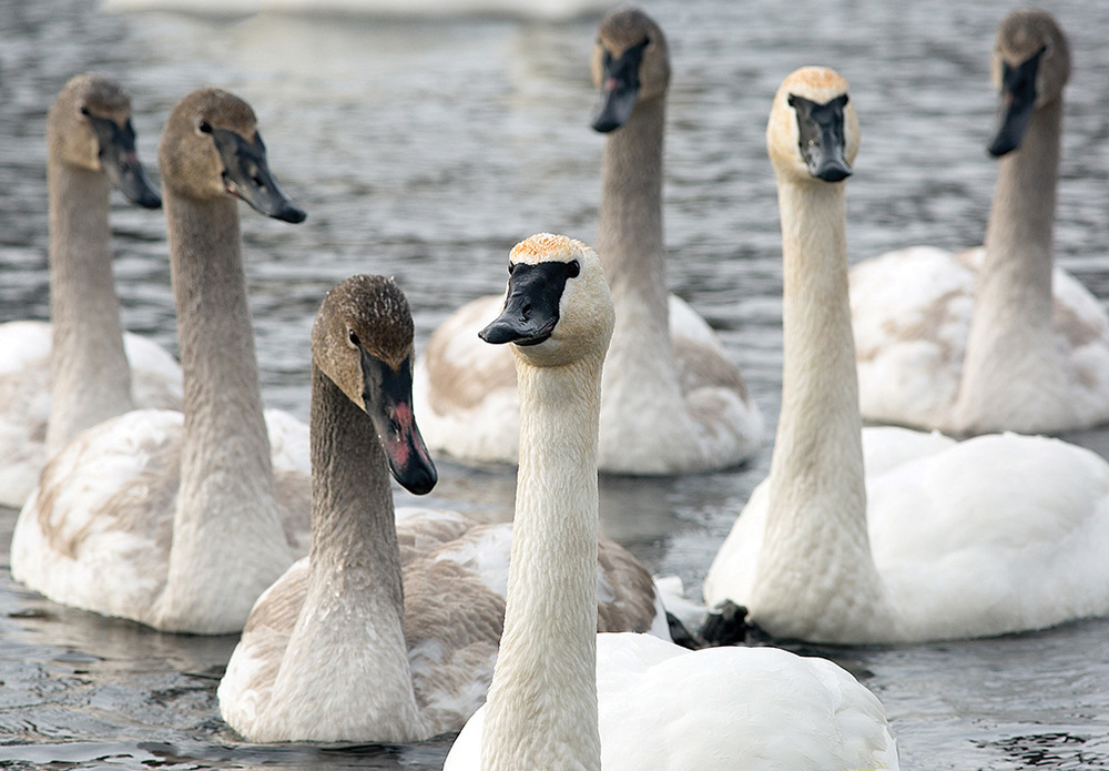 Young swans remain with their parents during the first winter. First-year swans are easily recognized by their darker colouration, most noticeable on the head and neck