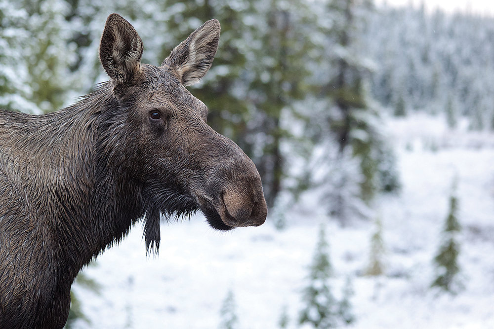Moose are synonymous with winter and their lengthy limbs help them navigate deep snow and reach nutritious twigs high in trees.