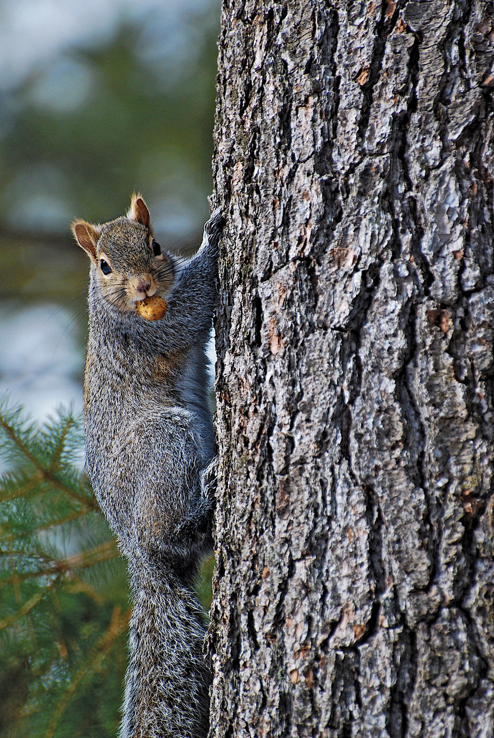 The Eastern Gray Squirrel is by far the noisiest creature in the otherwise tranquil winter forests of Hastings County.
