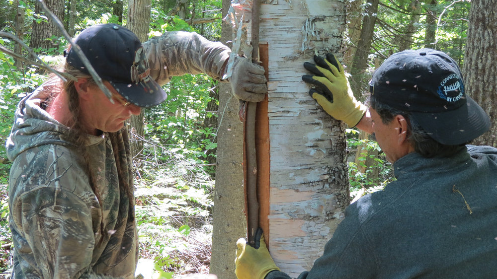 Stephen Hunter and C huck Commanda harvesting bark in Madawaska Valley, to use in traditional basket making and canoe build.
