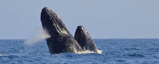 Image courtesy of WhaleWatchVallarta.com