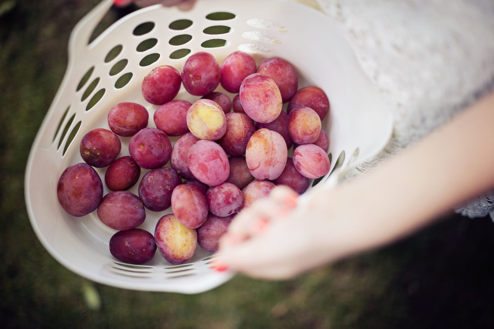 plum picking makes an unexpectedly great subject for a late summer family shoot