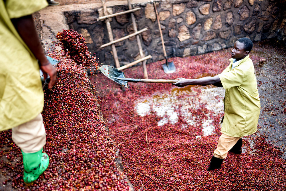 This is what coffee looks like before it is processed.