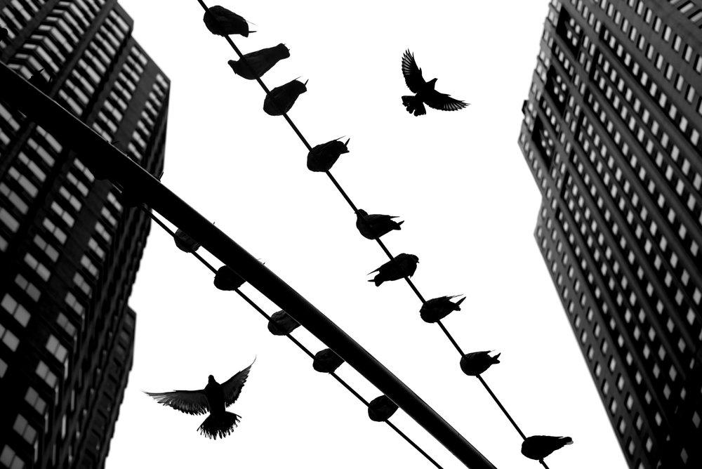 Pigeon Series - Alan Schaller - 2.jpg