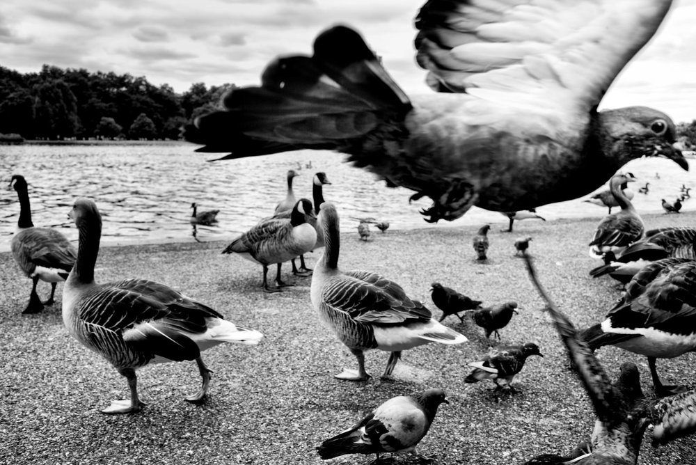 Pigeon Series - Alan Schaller - 3.jpg