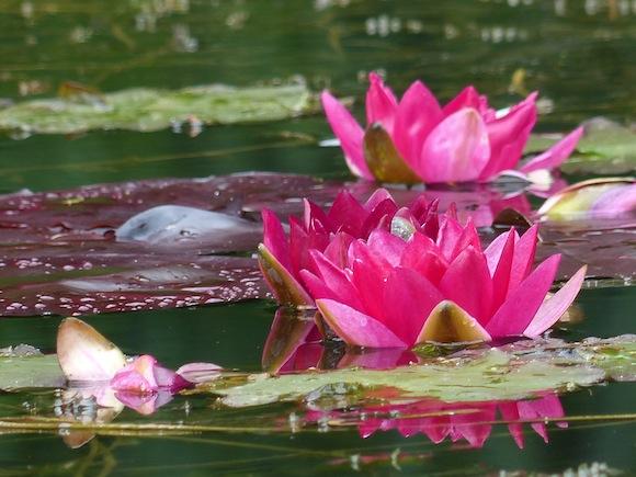 priory-lily-pink.JPG