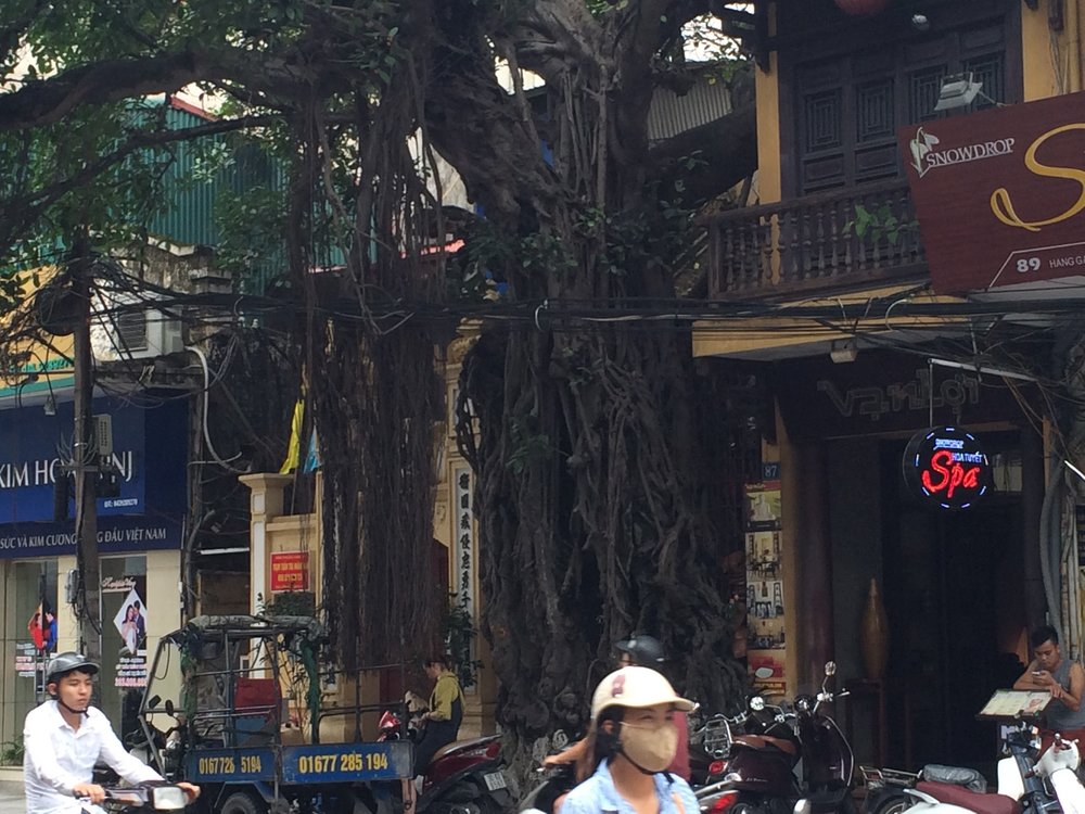 Is there a historical or mythological significance to the banyan tree?