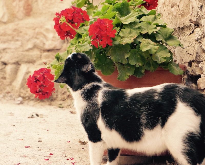 Cat and flowers in spello, umbria